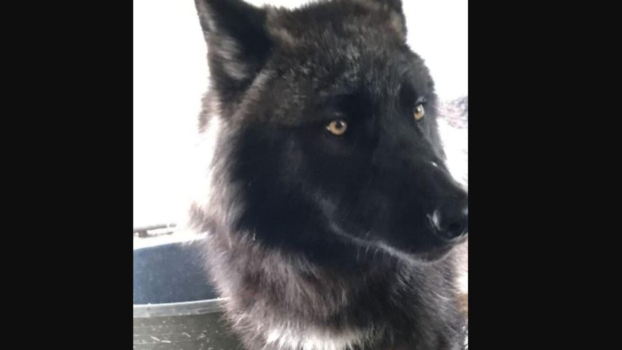 onyx gray wolf.JPG