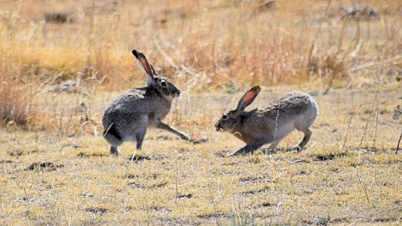 jackrabbits in colorado.jpg