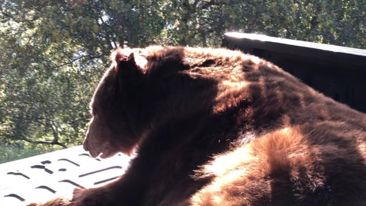 Solvang bear 1.JPG