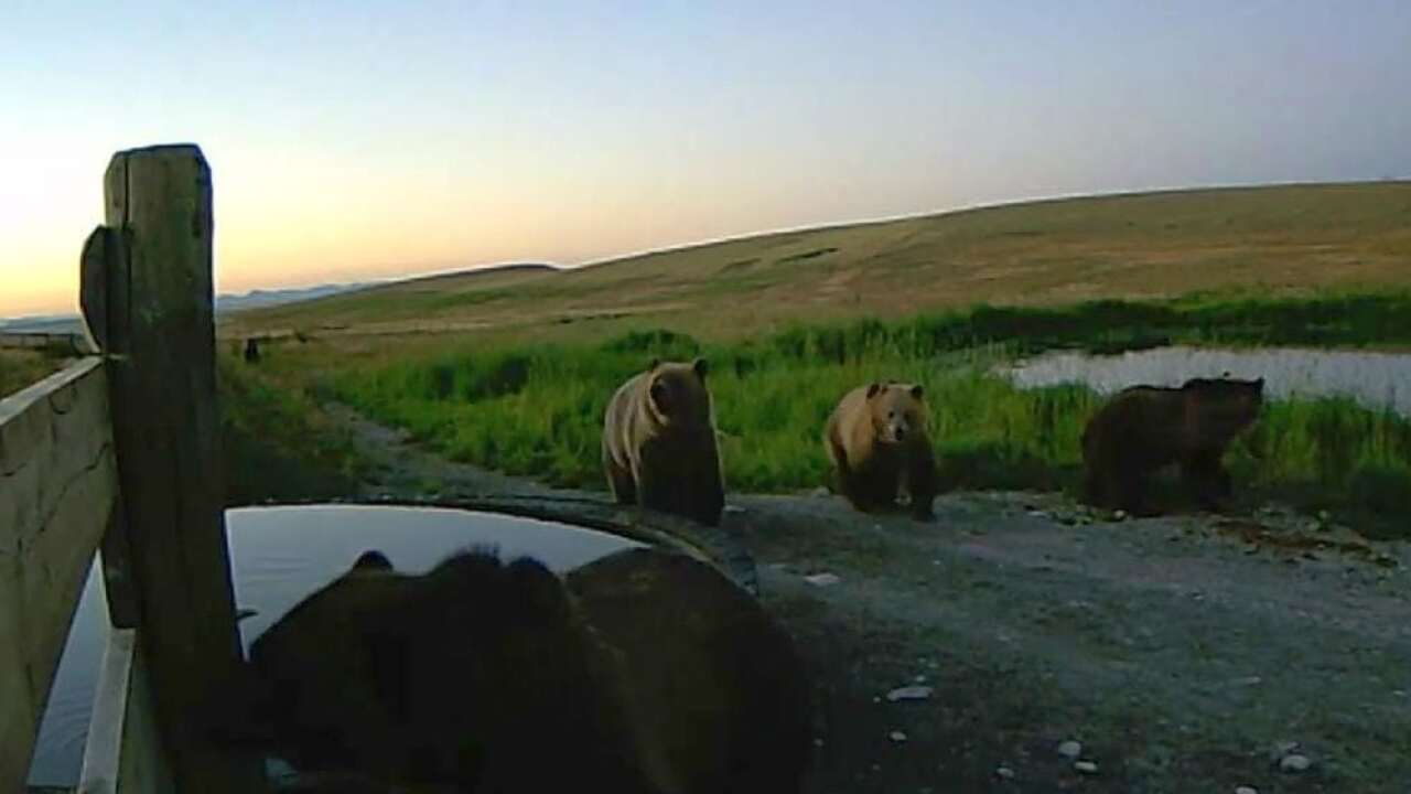 Grizzly bears caught on video between Choteau and Augusta, September 2018