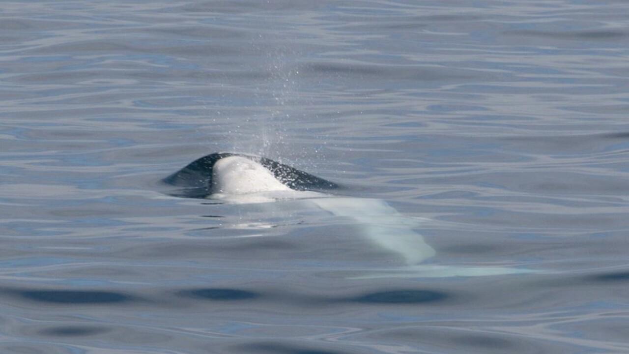 Glimpse of a lifetime: Rare beluga whale sighting off San Diego's coast