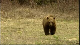 Grizzly bears euthanized near Columbia Falls