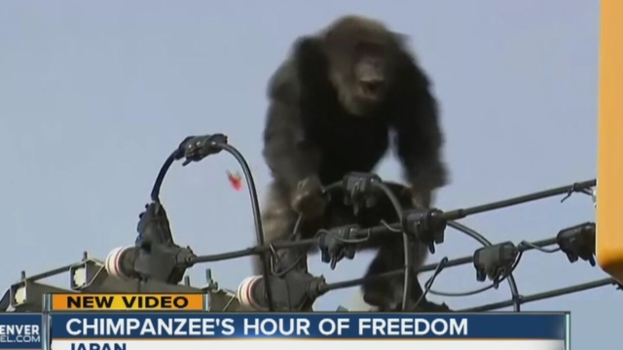 Chimp escapes zoo in Japan, climbs power pole