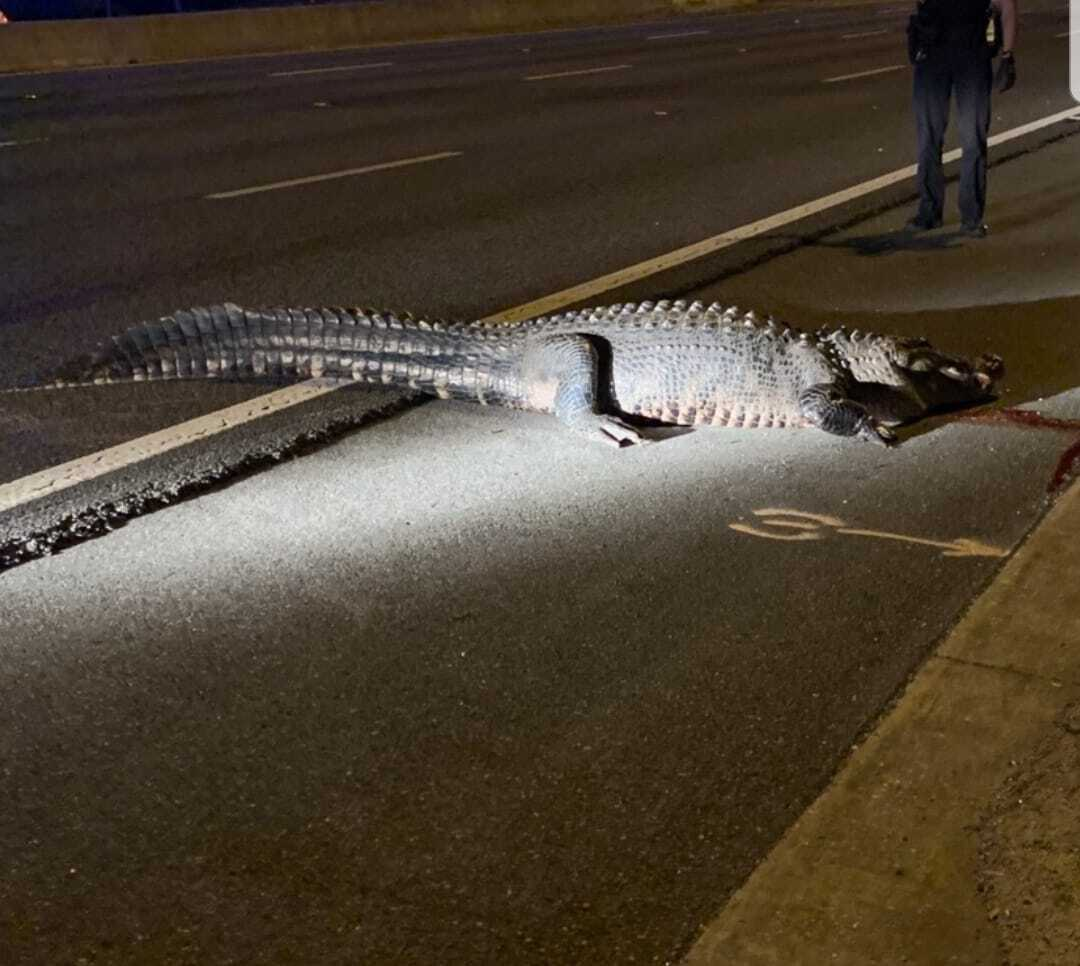 PHOTOS: 463-pound alligator captured after it was hit by a semi-truck in Florida