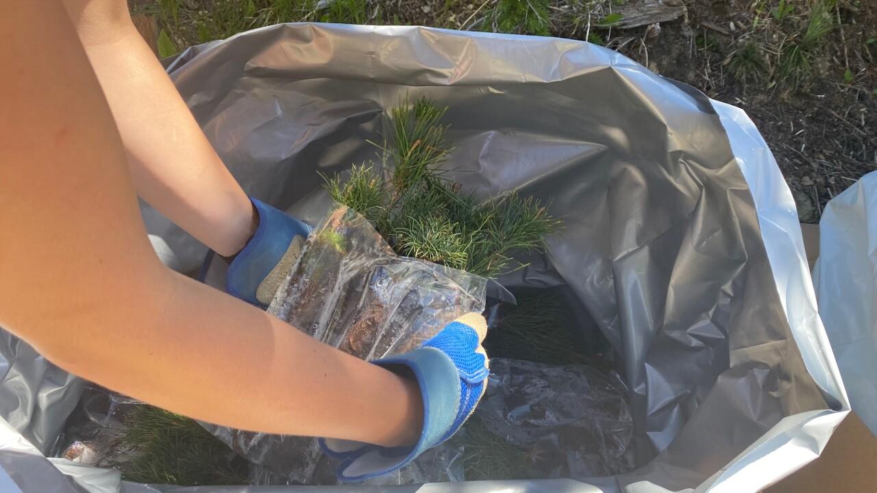 Whitefish Mountain Tree Planting4.png