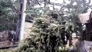 Meet ZooMontana's lynx (VIDEO)
