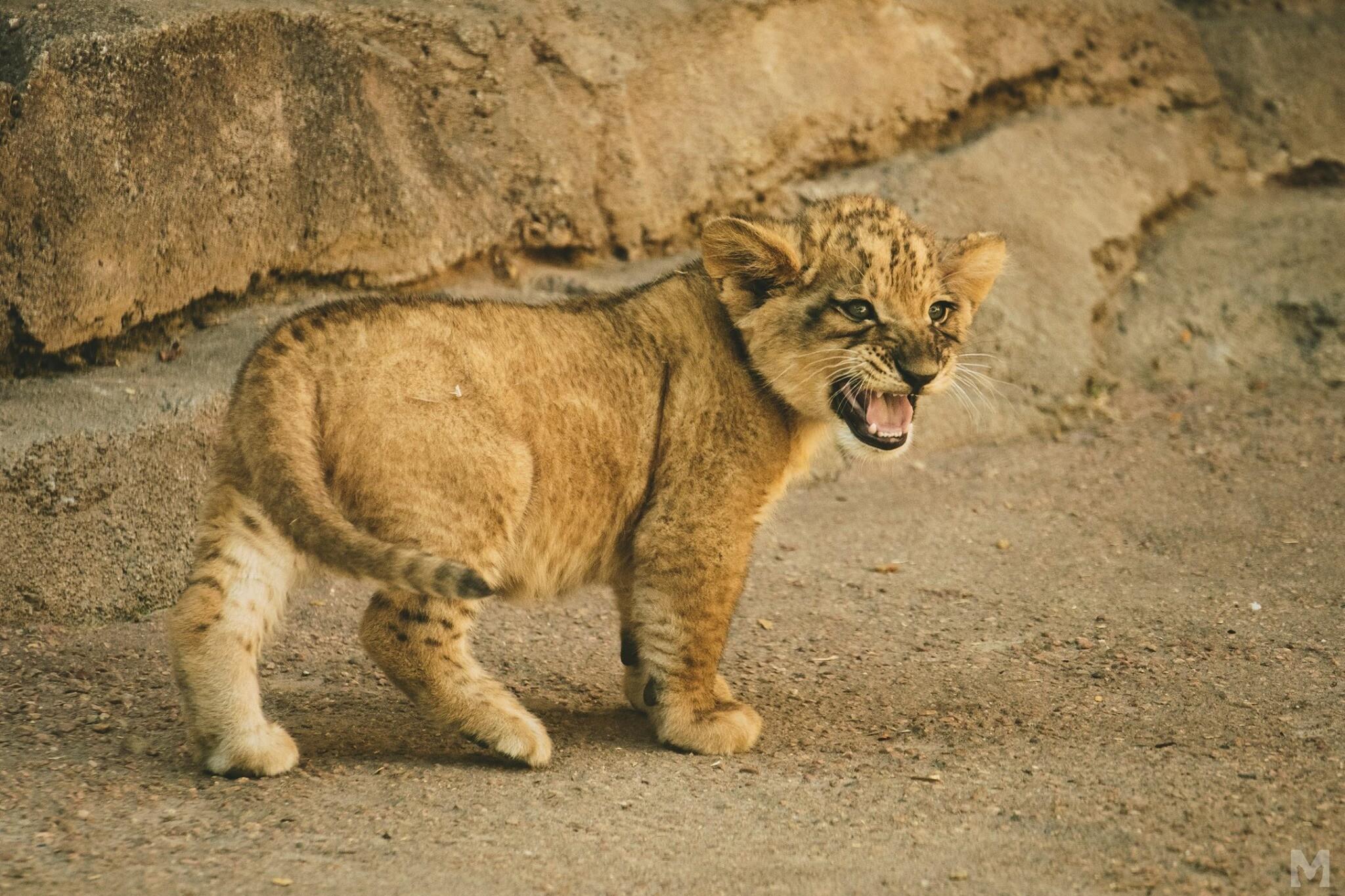 Lion Cub_2_Molly McCormick.jpg