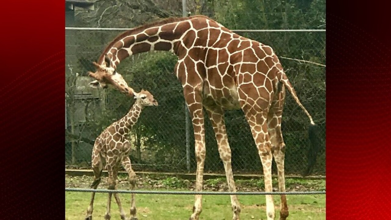 Brec S Baton Rouge Zoo Welcomes Baby Reticulated Giraffe
