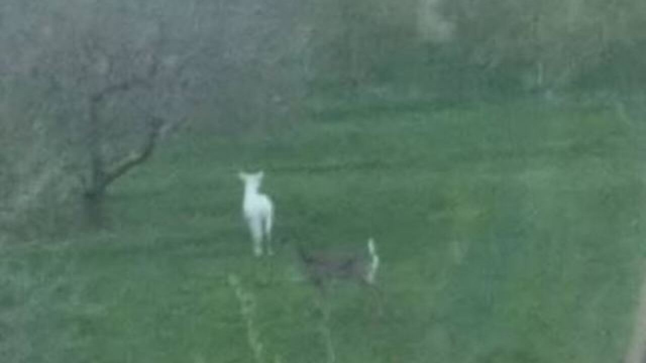 Rare albino deer may be roaming around Mukwonago