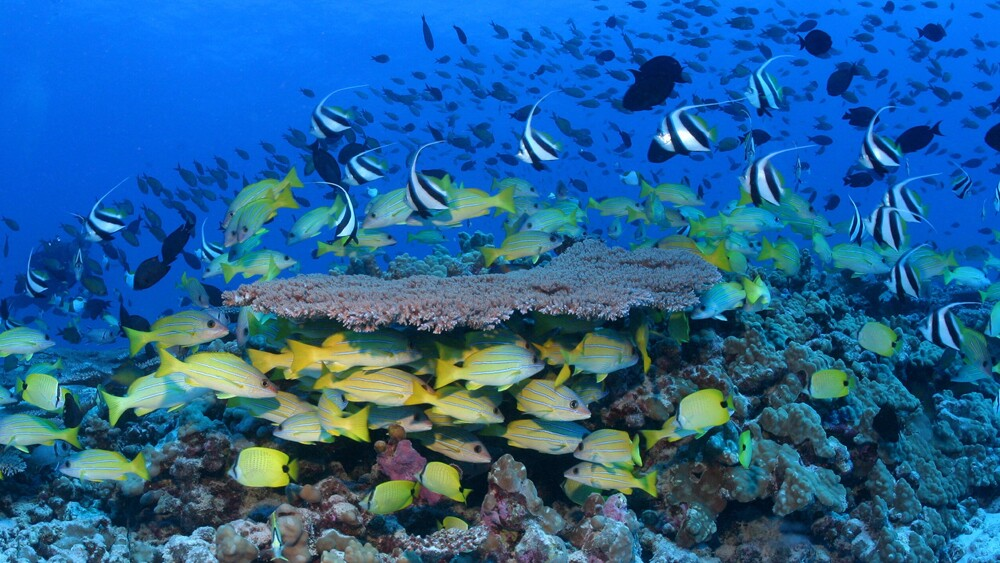 Seen are the reefs around French Frigate Shoals used to be full of life.