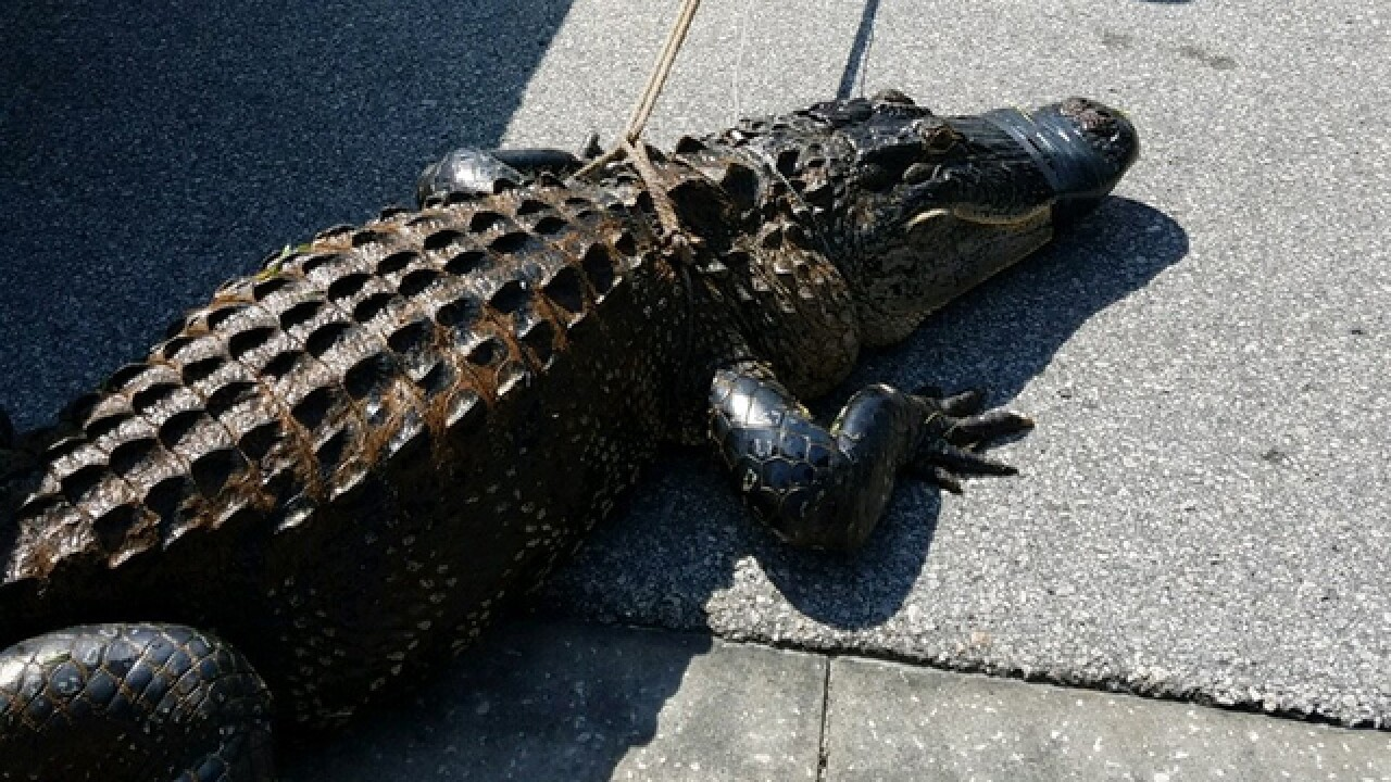 9-foot-long gator removed from backyard pool