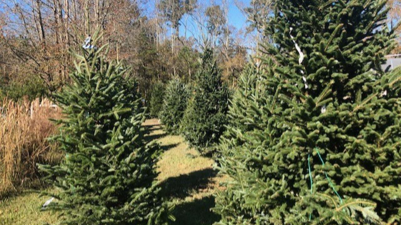 Christmas tree shortage still trickling into 2020 holiday season