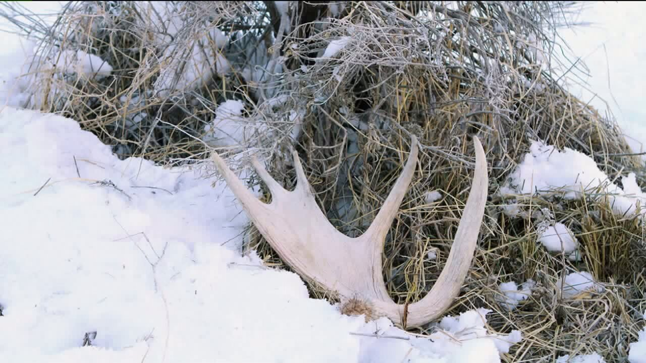 Utah Adventure: How to gather shed antlers in Utah