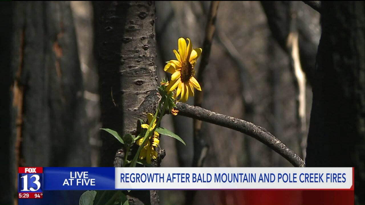 Regrowth in the Pole Creek and Bald Mountain fire areas