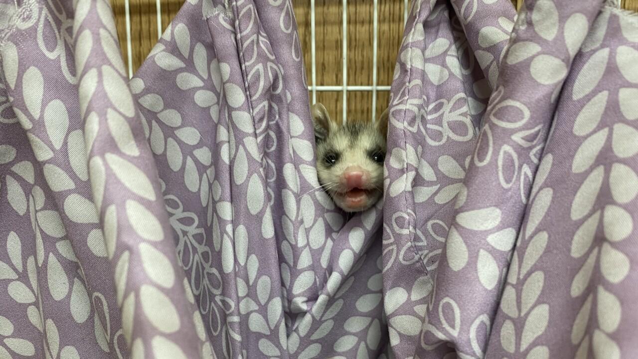 Opossums in hammock