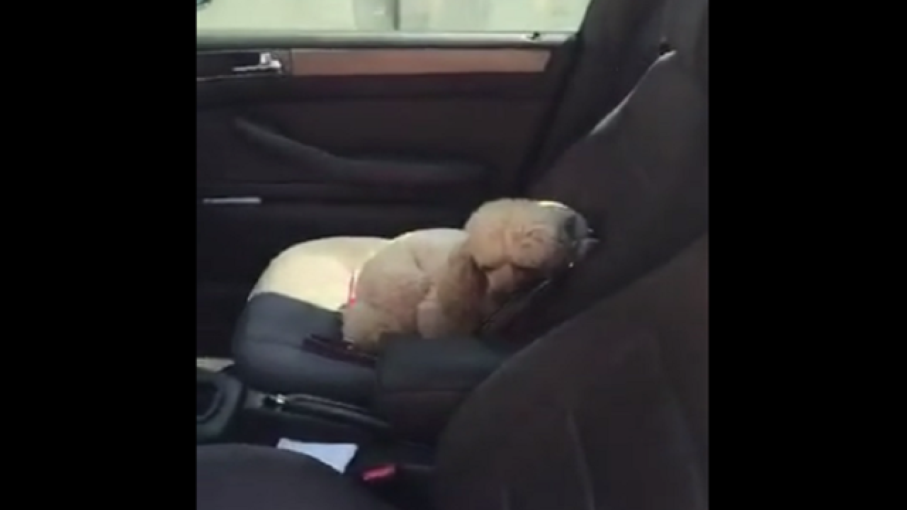 WATCH: Poodle skillfully evades owner to avoid leaving car