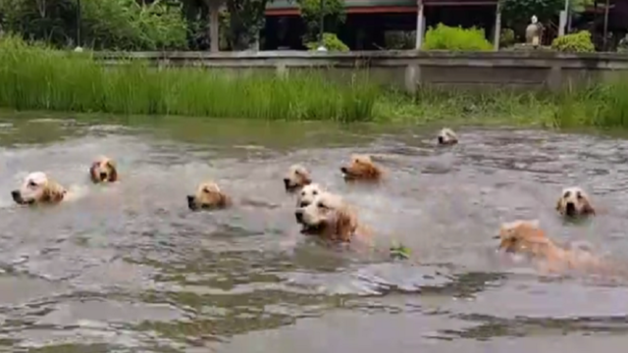WATCH: 16 golden retrievers take refreshing swim