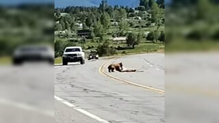 Video shows bear dragging deer off highway near Ridgway