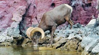 Thirsty Desert Animals