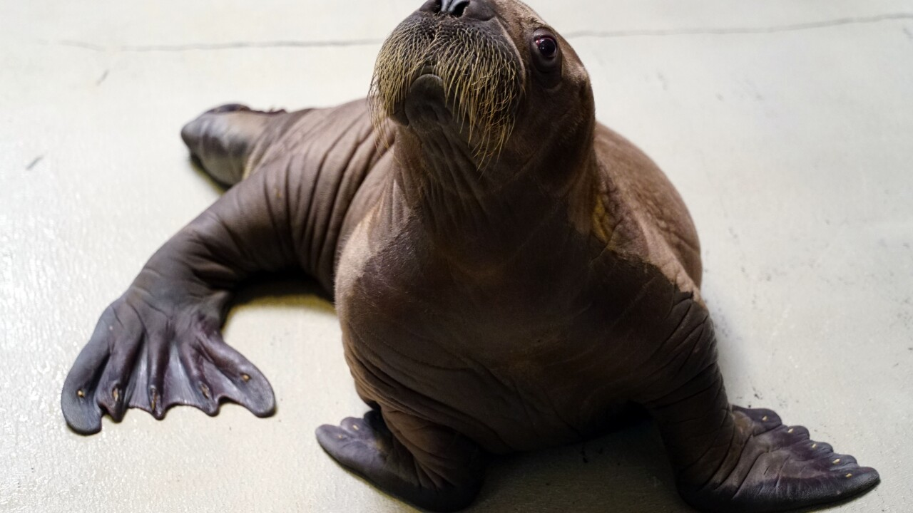 Whiskered baby walrus 3.JPG