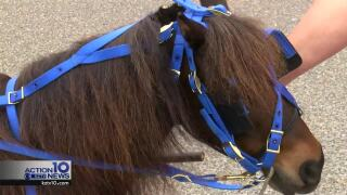 City wants a man who offers free miniature horse rides on the beach to register as a vendor