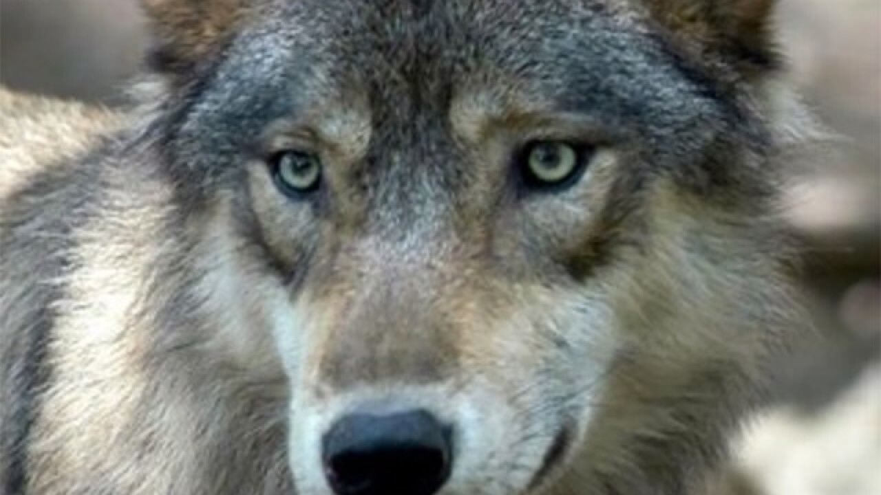 "New wolves released at Michigan national park to ""restore predator species"""