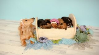 This Dachshund Gave Birth To 5 Puppies And Starred In An Adorable Photo Shoot