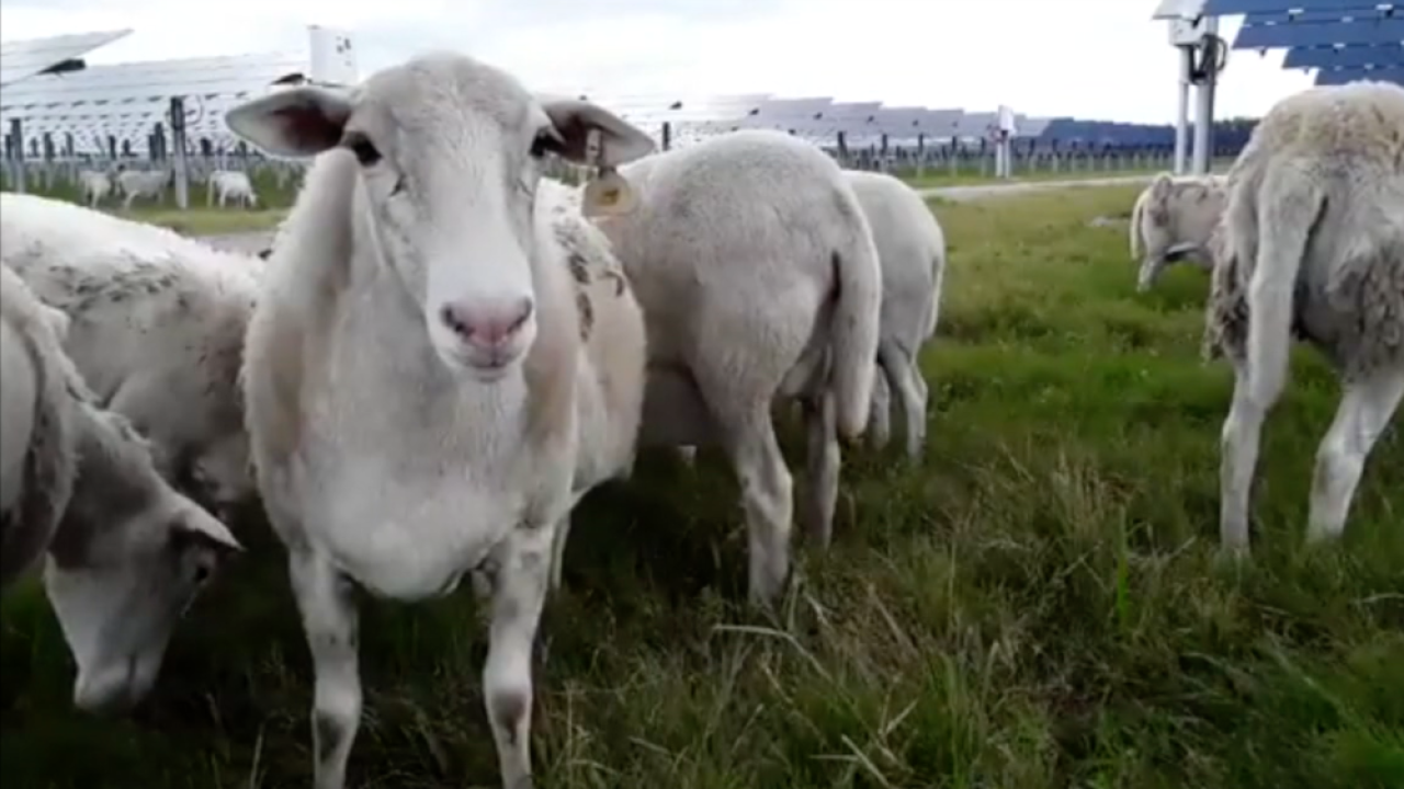 sheep grazing at TECO solar farm