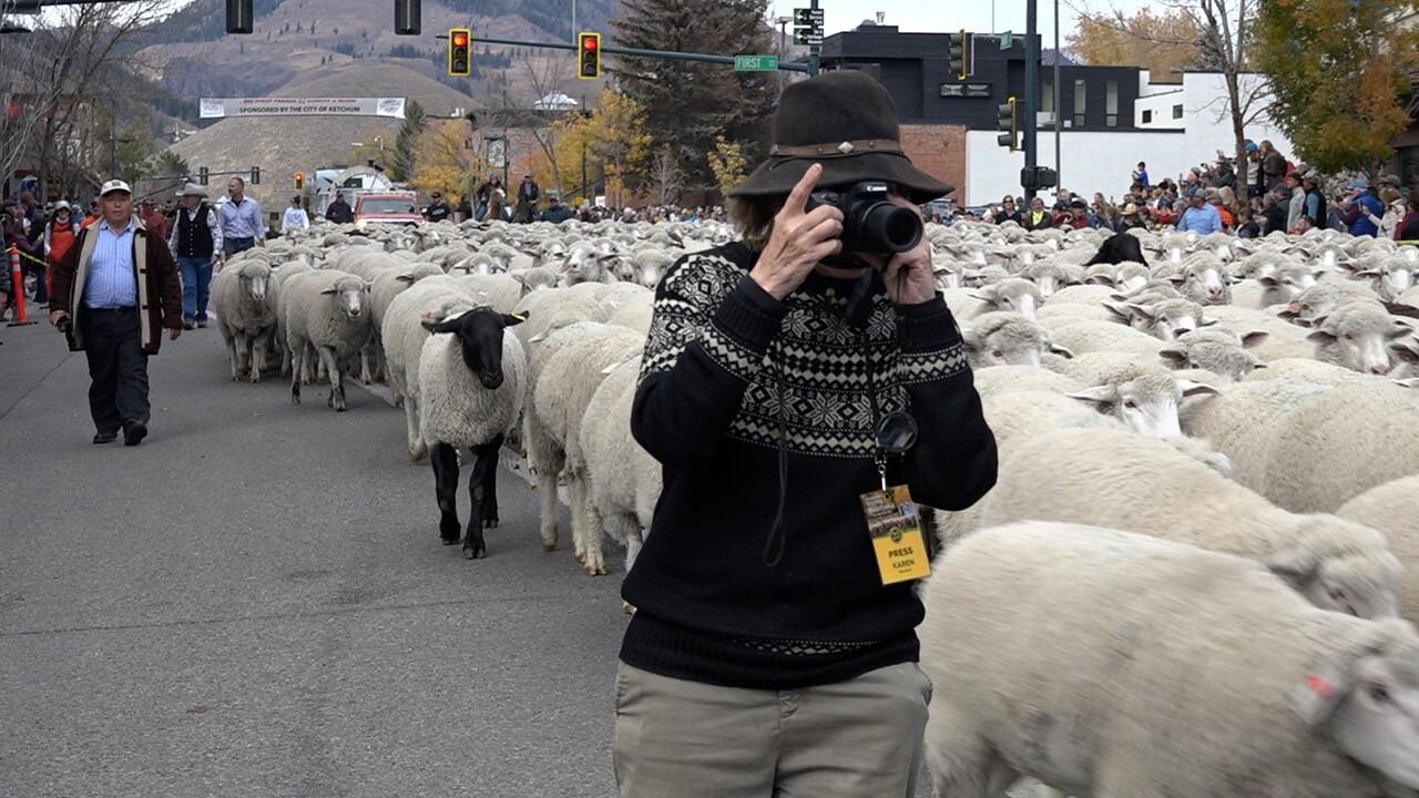 The sheep make their way through Ketchum