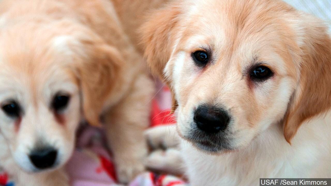 golden retriever puppy dogs.jpg