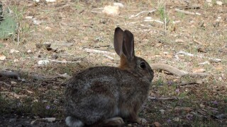 Grand Canyon Rabbit - Handout