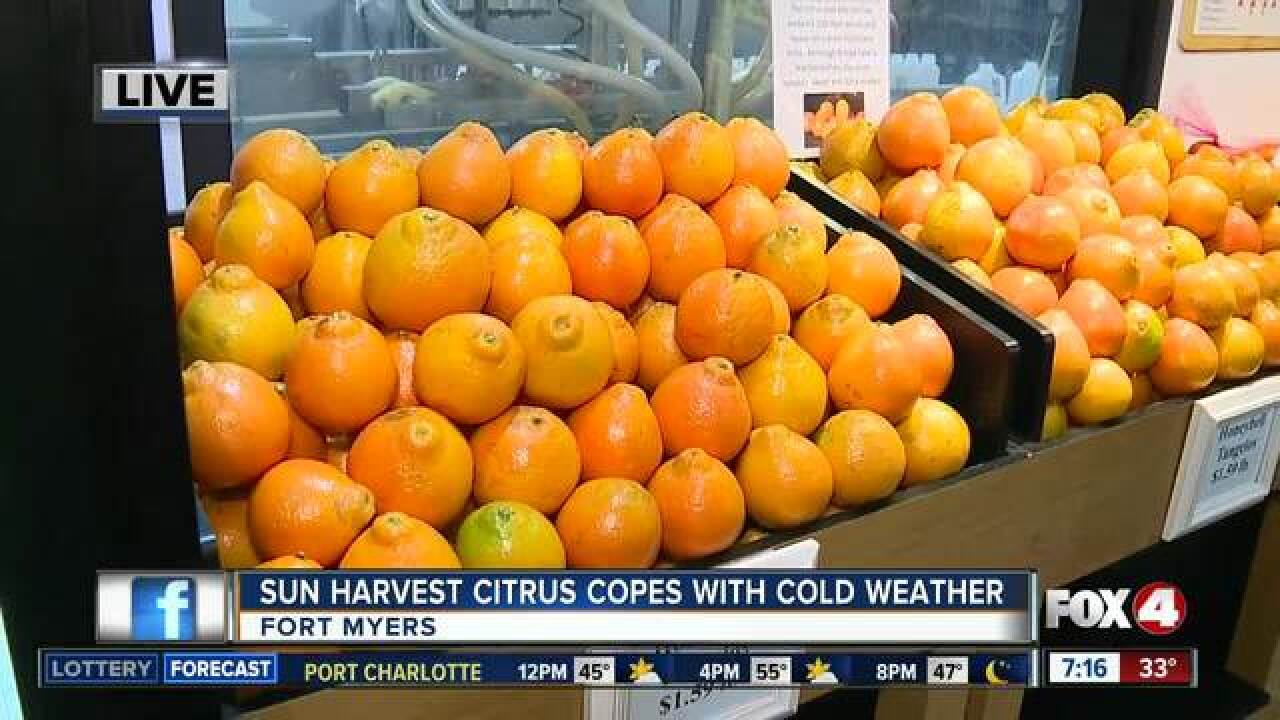 Sun Harvest Citrus groves cope with cold weather