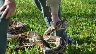 WANTED: Professional python hunters