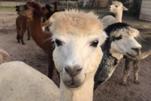 from Gulf Breeze Alpaca Ranch Facebook page.jpg