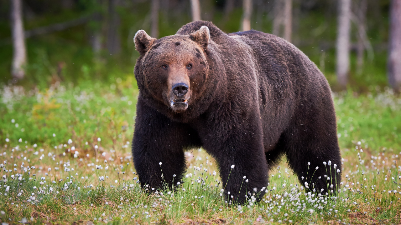 GRIZZLY BEAR (file photo)