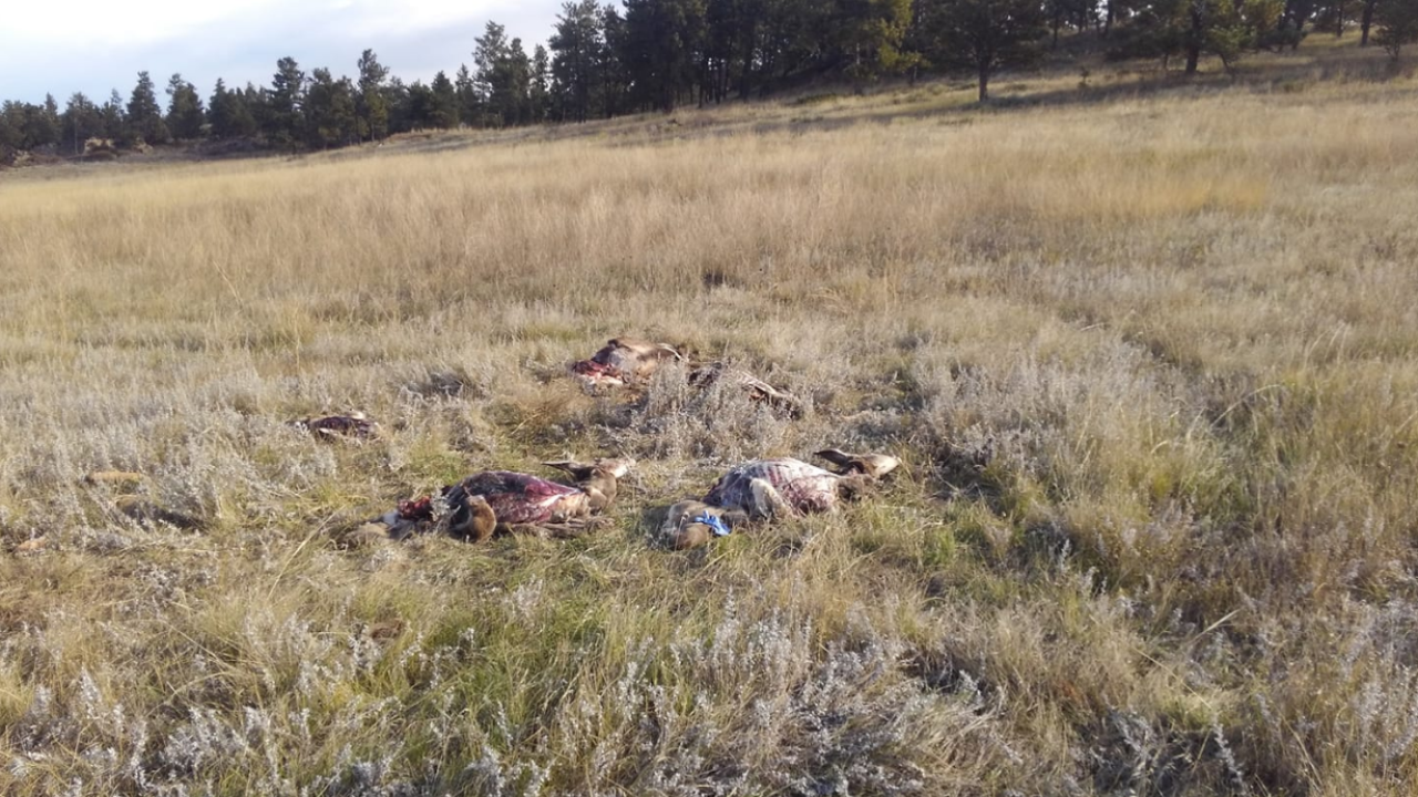 Hunters were cited for leaving five deer carcasses in a field outside Colstrip