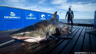 2,000-pound female great white shark swimming off the coast of Florida