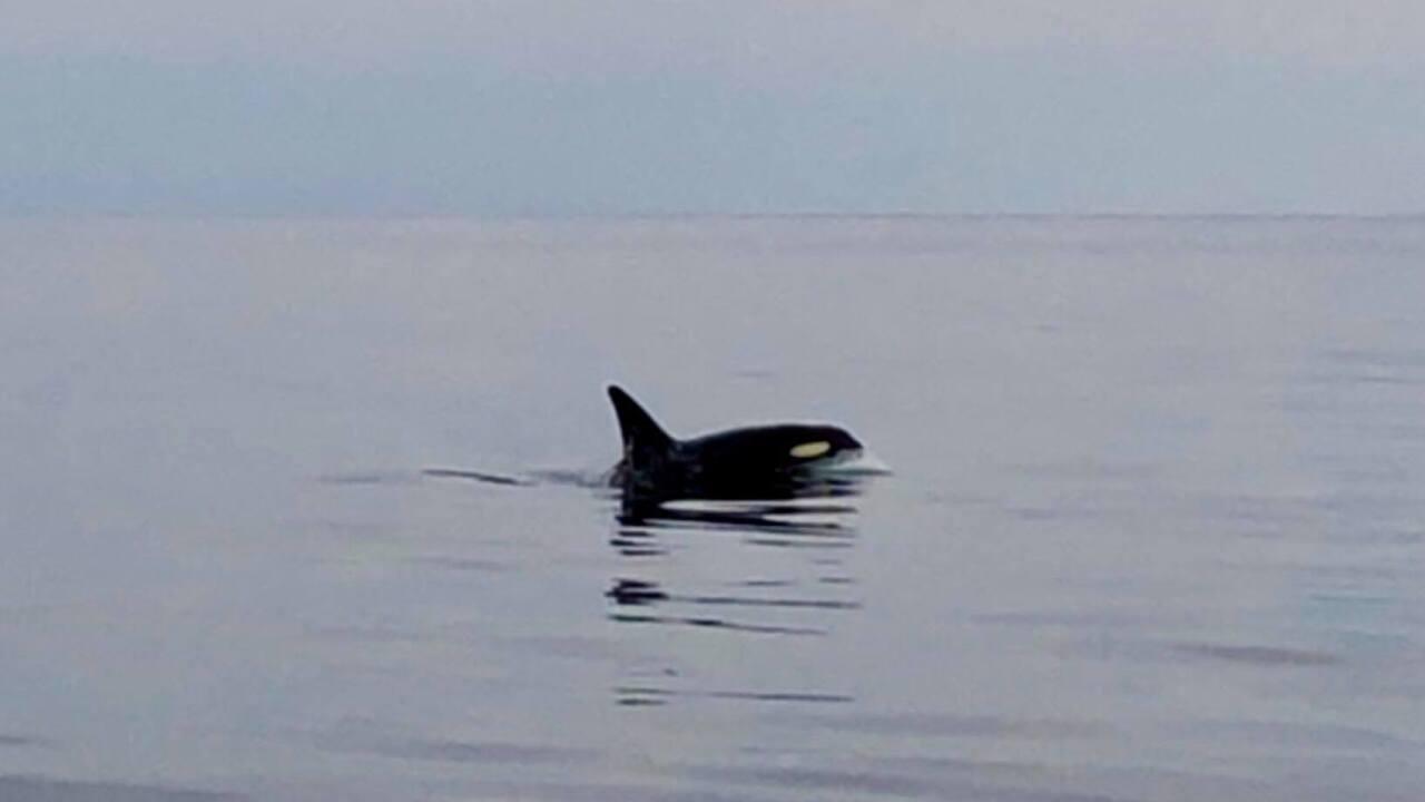 Local charter company spots killer whales off Virginia Beachcoast