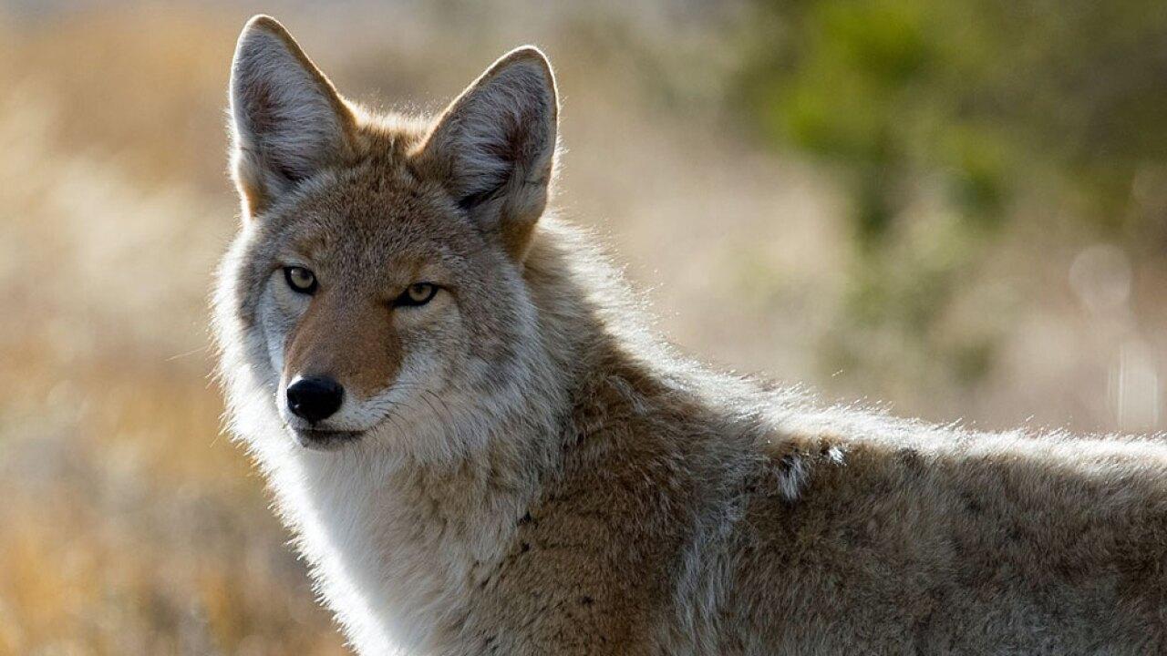 wptv-coyote-.jpg