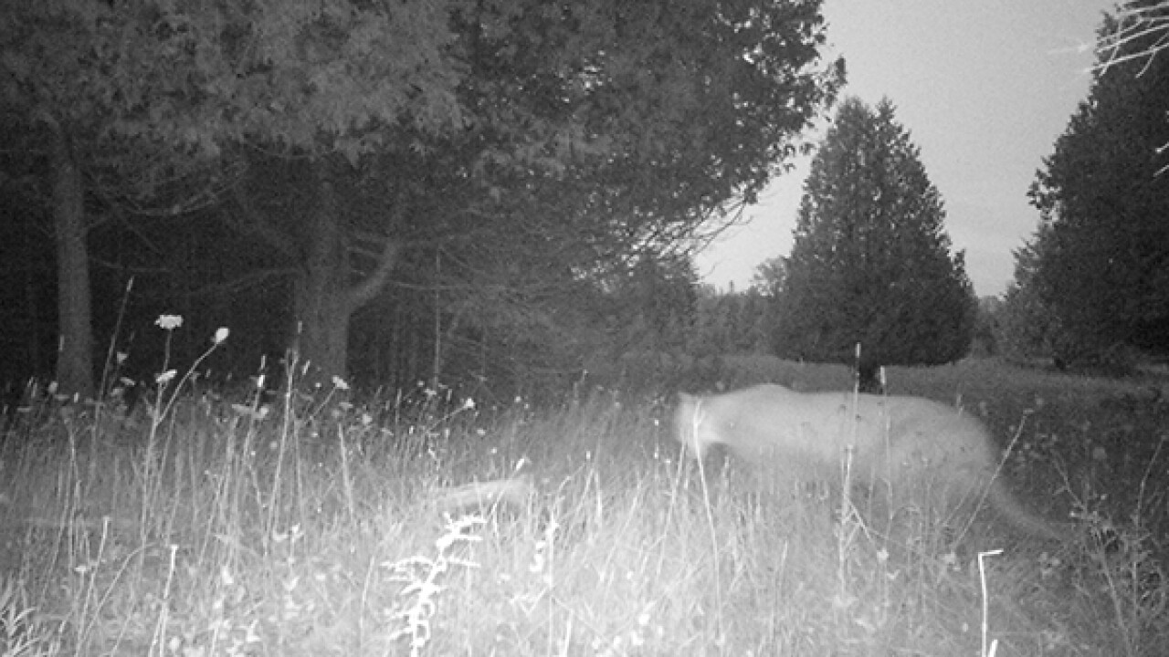 Michigan DNR confirms another cougar sighting in the Upper