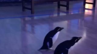 Penguins Got To Roam Free While Their Aquarium Was Closed