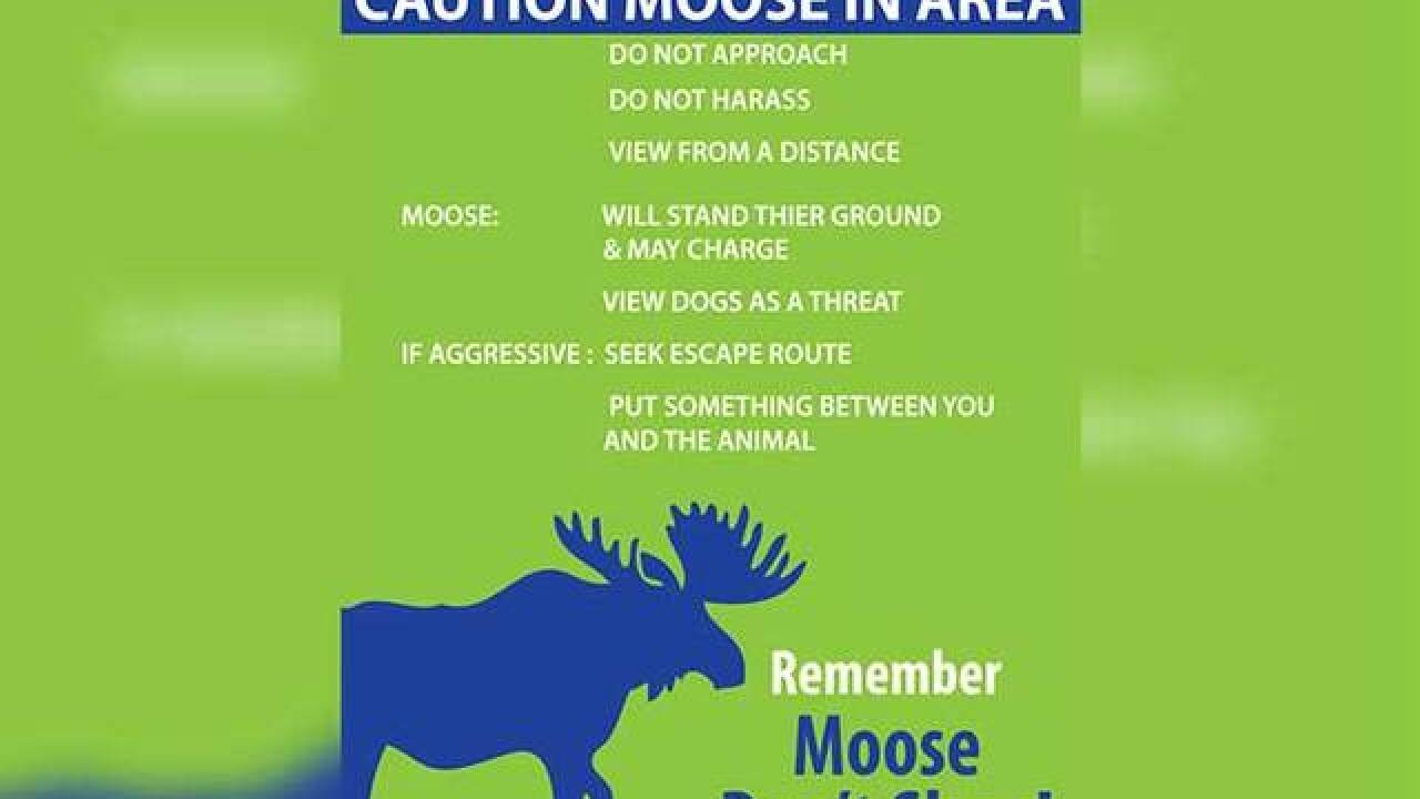 Skiers warned to look out for moose on slopes