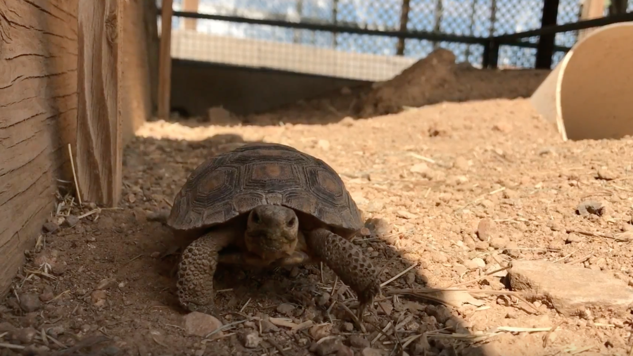 Tortoise adoptions Arizona Game and Fish