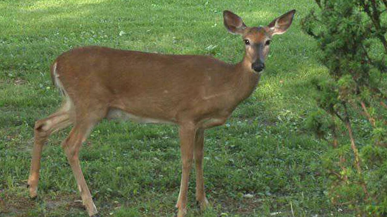 Montcalm County deer may have had chronic wasting disease