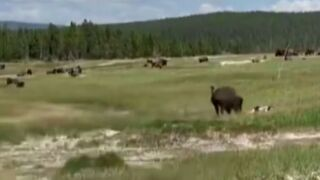 Video: Woman 'plays dead' to avoid a charging bison in Yellowstone National Park