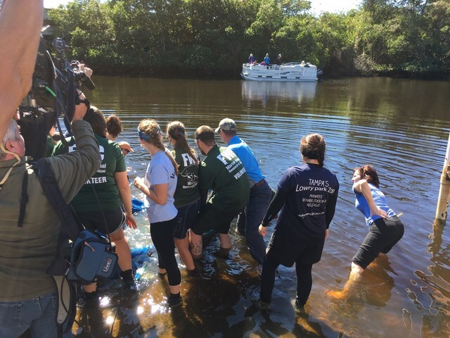 PHOTOS: Manatees released in Fort Myers after recovering from boat injuries