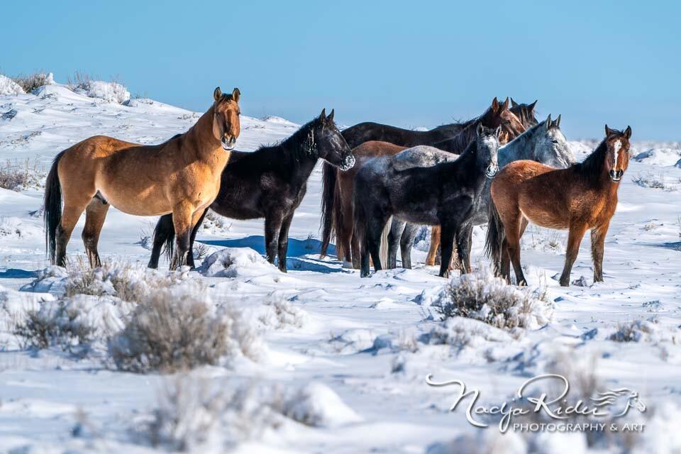 Wild horses in Sand Wash Basin