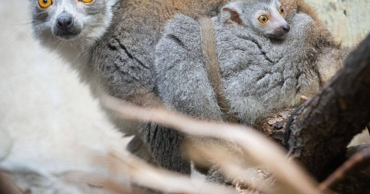 Cleveland Metroparks Zoo welcomes 2 crowned lemurs—a rare occurrence for any zoo