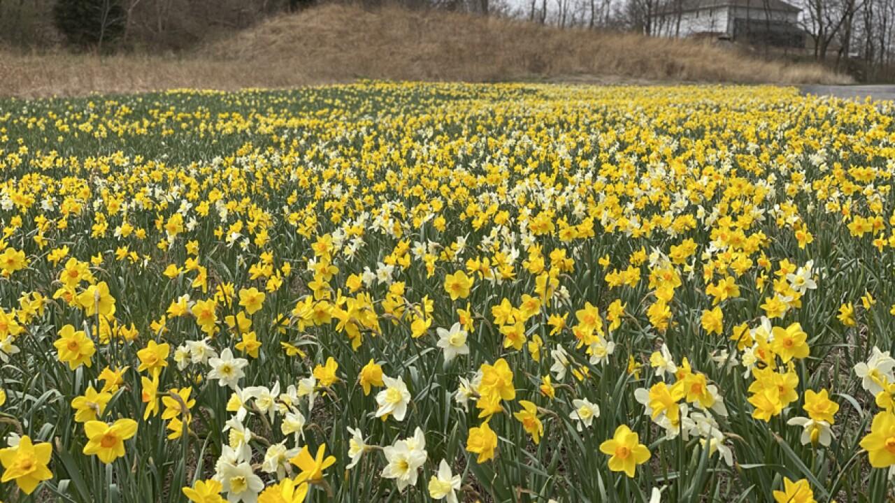 LauritzenGardens-Daffodils-PHOTO2-04-06-21 (1).jpg