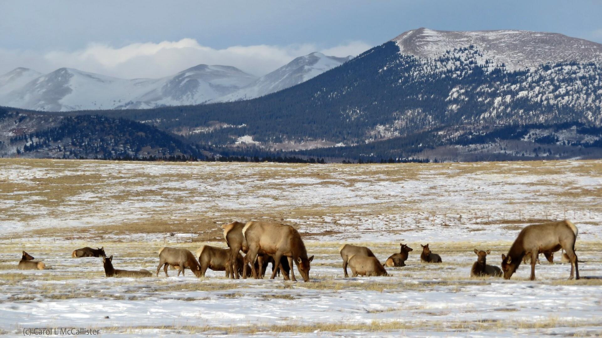 Elk near Fairplay Carol McCallister.jpg